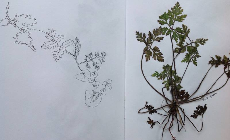 Walking Without Walls - Rachel Ashton Botanical Drawing